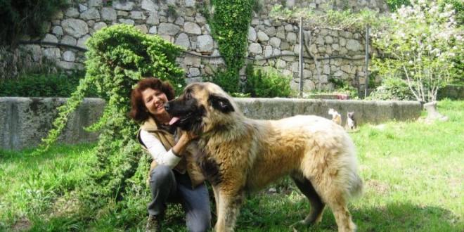 O cão Serra da Estrela está a conquistar clube de amigos pelo mundo