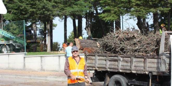 Oliveira do Hospital abate pinheiro seco de grande porte no Parque do Mandanelho